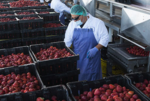 Strawberry Processing Facility